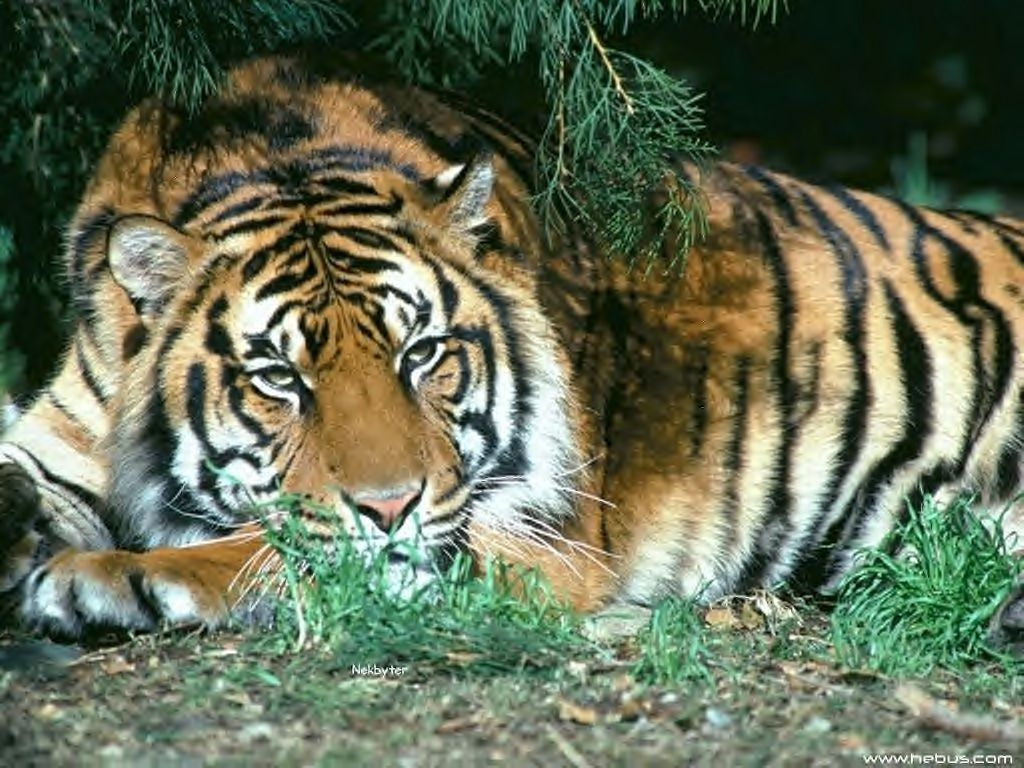 Tigre dans Autres felins j5bqqo0e